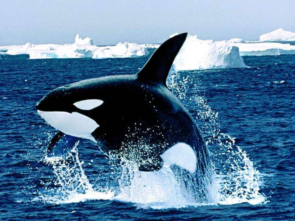 http://img692.imageshack.us/img692/5453/emergingkillerwhale.jpg