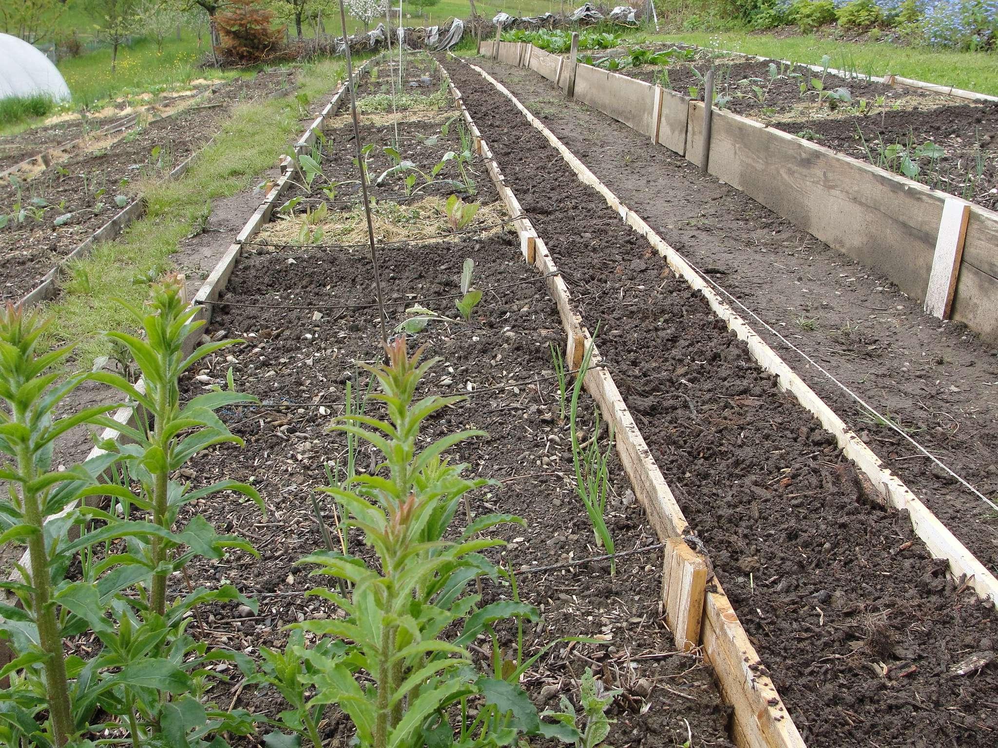 Chez marcol en 2013 potager fleuri et jardin fruitier au potager des membres page 25 for Planche potager